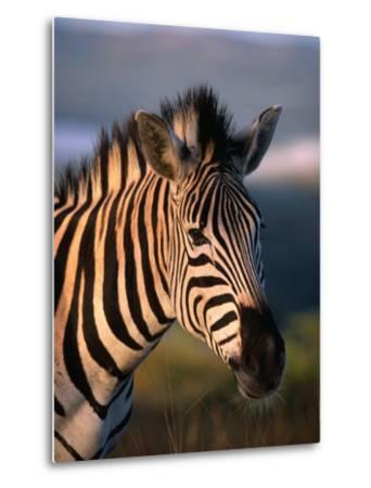 Plains Zebra, Burchell's Zebra, Hluhluwe-Umfolozi Park, Kwazulu-Natal, South Africa-Ariadne Van Zandbergen-Metal Print