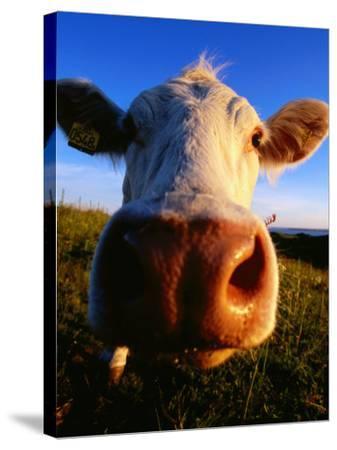 Close-Up of Cow's Nose at Glumslovs Backar, Landskrona, Skane, Sweden-Anders Blomqvist-Stretched Canvas Print