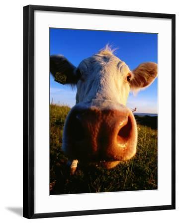Close-Up of Cow's Nose at Glumslovs Backar, Landskrona, Skane, Sweden-Anders Blomqvist-Framed Photographic Print