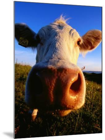 Close-Up of Cow's Nose at Glumslovs Backar, Landskrona, Skane, Sweden-Anders Blomqvist-Mounted Photographic Print