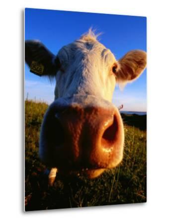 Close-Up of Cow's Nose at Glumslovs Backar, Landskrona, Skane, Sweden-Anders Blomqvist-Metal Print