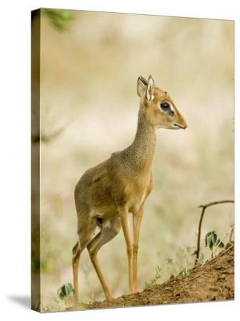 Kirk's Dik-Dik, Lake Manyara National Park, Arusha, Tanzania-Ariadne Van Zandbergen-Stretched Canvas Print
