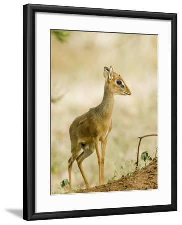 Kirk's Dik-Dik, Lake Manyara National Park, Arusha, Tanzania-Ariadne Van Zandbergen-Framed Photographic Print