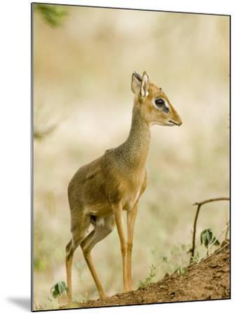 Kirk's Dik-Dik, Lake Manyara National Park, Arusha, Tanzania-Ariadne Van Zandbergen-Mounted Photographic Print