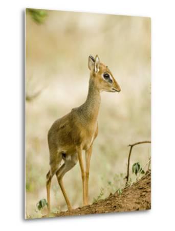 Kirk's Dik-Dik, Lake Manyara National Park, Arusha, Tanzania-Ariadne Van Zandbergen-Metal Print