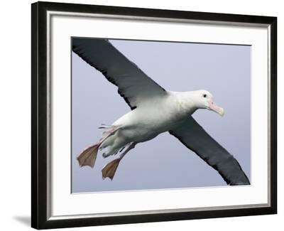 Gibson's Albatross, Kaikoura, New Zealand-David Wall-Framed Photographic Print