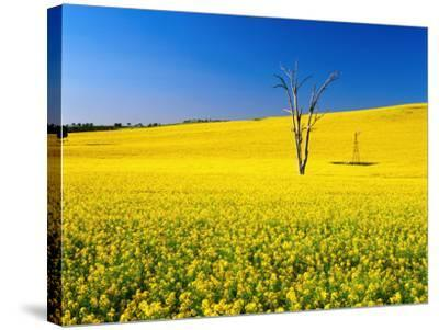 Dead Tree in Field of Flowering Canola, Cootamundra, New South Wales, Australia-Ross Barnett-Stretched Canvas Print