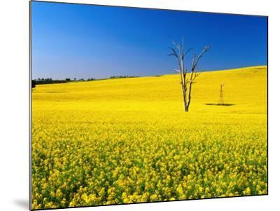 Dead Tree in Field of Flowering Canola, Cootamundra, New South Wales, Australia-Ross Barnett-Mounted Photographic Print