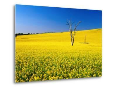 Dead Tree in Field of Flowering Canola, Cootamundra, New South Wales, Australia-Ross Barnett-Metal Print