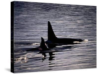 Killer Whales-Mark Newman-Stretched Canvas Print