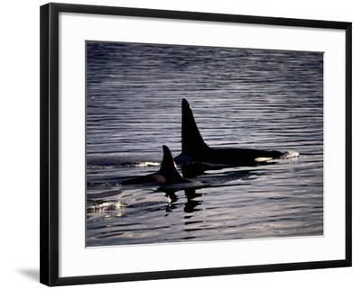 Killer Whales-Mark Newman-Framed Photographic Print