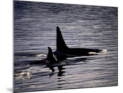 Killer Whales-Mark Newman-Mounted Photographic Print