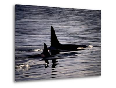 Killer Whales-Mark Newman-Metal Print