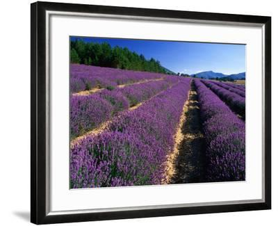 Rows of Lavender in Bloom, Vaucluse Region, Sault, Provence-Alpes-Cote d'Azur, France-David Tomlinson-Framed Photographic Print
