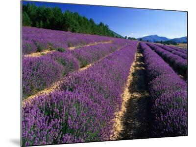 Rows of Lavender in Bloom, Vaucluse Region, Sault, Provence-Alpes-Cote d'Azur, France-David Tomlinson-Mounted Photographic Print