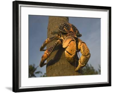 Giant Coconut Crab World's Largest Terrestial Crab, Chumbe Island, Zanzibar West, Tanzania-Ariadne Van Zandbergen-Framed Photographic Print