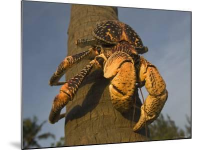 Giant Coconut Crab World's Largest Terrestial Crab, Chumbe Island, Zanzibar West, Tanzania-Ariadne Van Zandbergen-Mounted Photographic Print