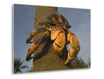 Giant Coconut Crab World's Largest Terrestial Crab, Chumbe Island, Zanzibar West, Tanzania-Ariadne Van Zandbergen-Metal Print