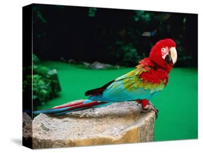 Colourful Parrot at Jurong Bird Park, Singapore-John Elk III-Stretched Canvas Print