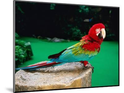Colourful Parrot at Jurong Bird Park, Singapore-John Elk III-Mounted Photographic Print