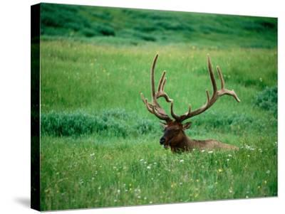 Elk in Meadow, Yellowstone National Park, Wyoming-Holger Leue-Stretched Canvas Print
