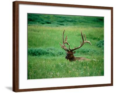 Elk in Meadow, Yellowstone National Park, Wyoming-Holger Leue-Framed Photographic Print