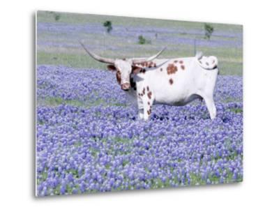 Longhorn Grazing on Bluebonnets, Midlothian, Texas-Pat Sullivan-Metal Print
