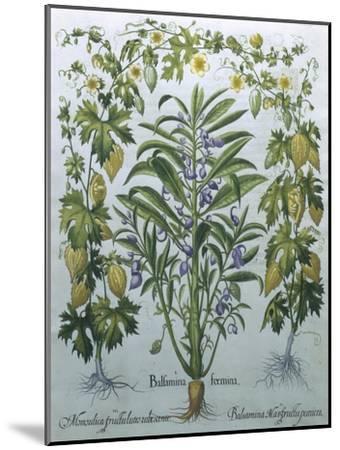 Balsamina Foemina-Besler Basilius-Mounted Giclee Print