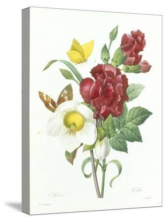 Botanical Study of Hellebore-Pierre-Joseph Redout?-Stretched Canvas Print