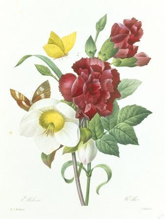Botanical Study of Hellebore-Pierre-Joseph Redout?-Giclee Print