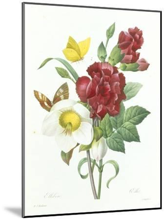 Botanical Study of Hellebore-Pierre-Joseph Redout?-Mounted Giclee Print