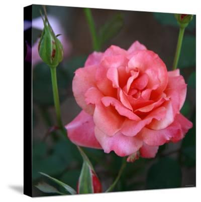 Sweet Rose I-Nicole Katano-Stretched Canvas Print