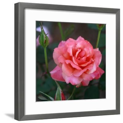 Sweet Rose I-Nicole Katano-Framed Photo
