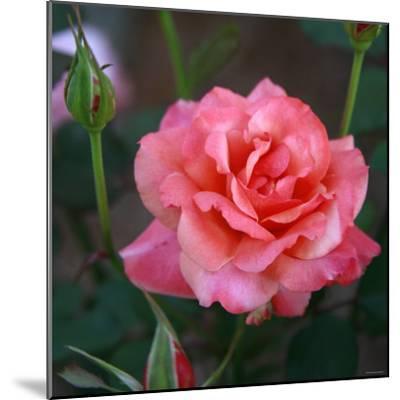 Sweet Rose I-Nicole Katano-Mounted Photo