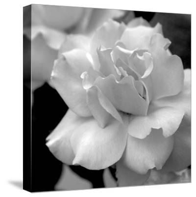 Candy Rose-Nicole Katano-Stretched Canvas Print