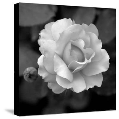 Sweet Rose II-Nicole Katano-Stretched Canvas Print