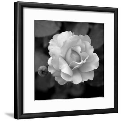 Sweet Rose II-Nicole Katano-Framed Photo