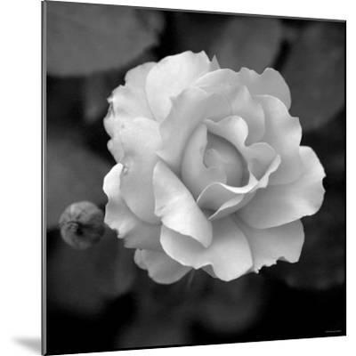 Sweet Rose II-Nicole Katano-Mounted Photo