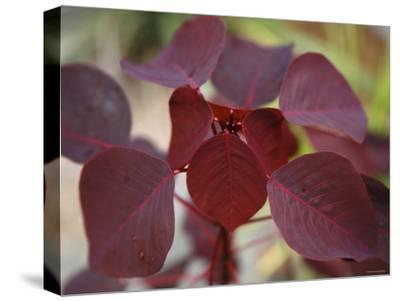 Royal Burgundy Leaves II-Nicole Katano-Stretched Canvas Print