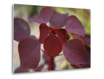 Royal Burgundy Leaves II-Nicole Katano-Metal Print