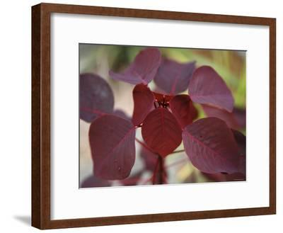 Royal Burgundy Leaves II-Nicole Katano-Framed Photo
