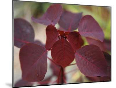 Royal Burgundy Leaves II-Nicole Katano-Mounted Photo