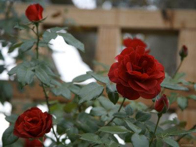 Red Roses-Nicole Katano-Framed Photo