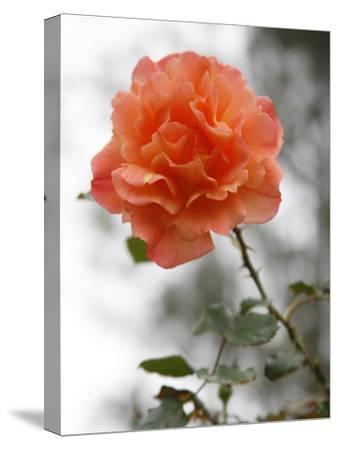 Peach Rose-Nicole Katano-Stretched Canvas Print