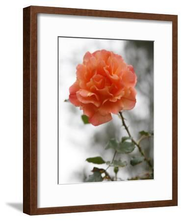 Peach Rose-Nicole Katano-Framed Photo