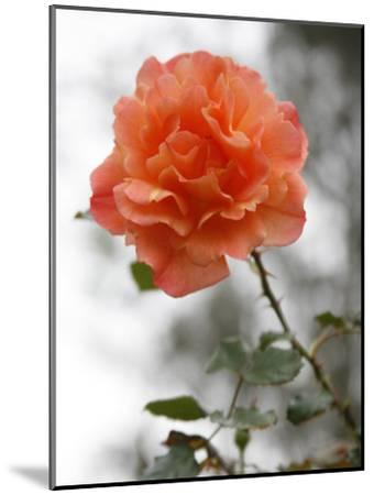Peach Rose-Nicole Katano-Mounted Photo
