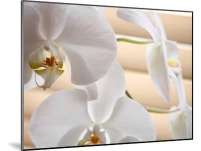 White Orchids III-Nicole Katano-Mounted Photo