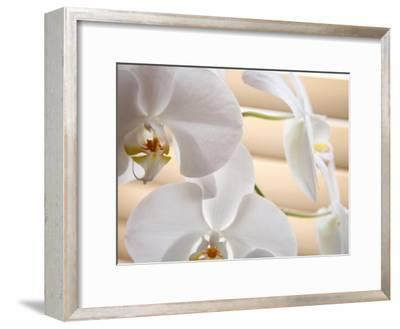 White Orchids III-Nicole Katano-Framed Photo