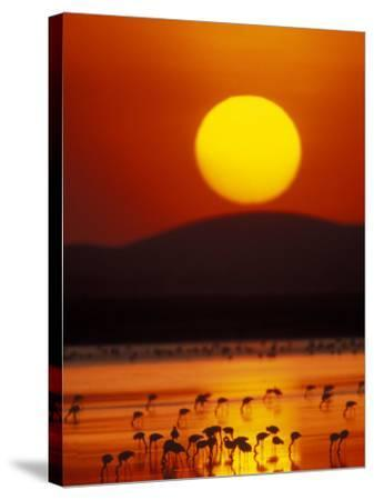 Flock of Lesser Flamingos Reflected in Water at Sunrise, Amboseli National Park, Kenya-Arthur Morris-Stretched Canvas Print