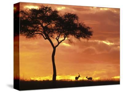 Gazelle Grazing Under Acacia Tree at Sunset, Maasai Mara, Kenya-John & Lisa Merrill-Stretched Canvas Print